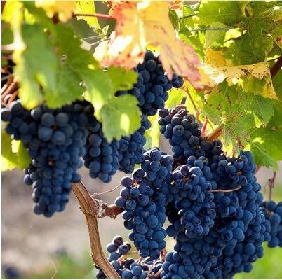50 pcs / lot de raisin rouge doux Graines avancée Fruit graines croissance naturelle de raisin délicieux fruits de jardinage Plantes 4