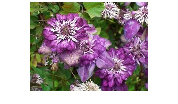 Clematis Cassis Plant in 3 Litre Pot with 3 ft Cane