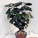 Rundblättriger Sen Nanyang Samen Bonsai Samen 50Gastonia Kiefer Bailey Bonsai Baum Grove Rundblättriger, Heimwerken Home Gartenarbeit