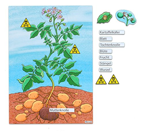 betzold-die-kartoffelpflanze-magnetisches-tafelbild-magnetische-pflanzenteile-blute-frucht-kartoffel