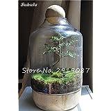 Semillas 100 PC raras semillas verdes musgo exóticas Semillas Bonsai Moss Musgo precioso jardín Bola decorativa creativa de la hierba Planta de tiesto 5