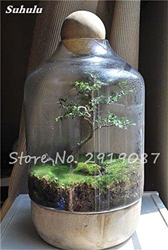 Moss Bonsai (100 Stück Rare Green Moss Samen Exotische Bonsai Moss Samen Schöne Moss Kugel Dekorative Garten Kreative Gras Samen Topfpflanze 5)