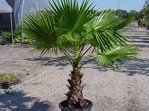 Portal Cool 20 Washingtonia Filifera Palme Samen, Seltene mexikanischen Fan Palm Frische Samen