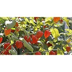 Boden Kirsche 100 Samen Physalis pruinosa TomatilloSalsaSalad CombSH B67