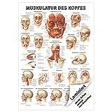 Sport-Tec Muskulatur des Kopfes Mini-Poster Anatomie 34x24 cm medizinische Lehrmittel