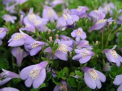 Wasserflora Violettes Lippenmäulchen / Mazus Reptans violett im 9x9 cm Topf von Garten Schlüter auf Du und dein Garten