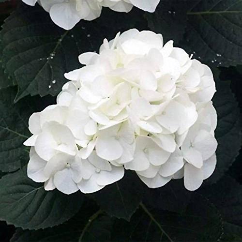 Kisshes giardino - 20 pezzi giardino ortensia ortensia semi bonsai semi di fiori pianta ornamentale giardino perenne hydrangea macrophylla