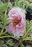 Paeonia suffruticosa 'Guan Shi Mo You' Japanese Tree Peony 11cm Pot Size