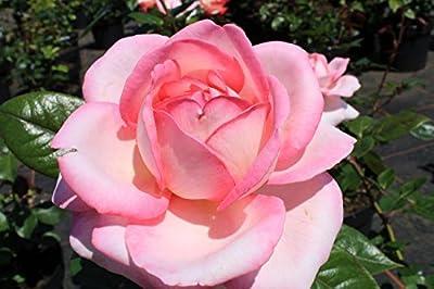 Edelrose Shirley ® Adarylop ® Containerrosen im großen 7,5 Liter Topf von Gartencenter Bartels - Du und dein Garten