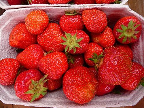 17 Erdbeerpflanzen Senga sengana, starke Pflanzen im 9 cm Topf