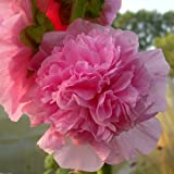 lichtnelke - Stockrose (Alcea rosea plena 'Chaters ROSA ') gefüllt
