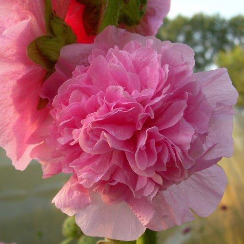 Stockrose Pink, grün
