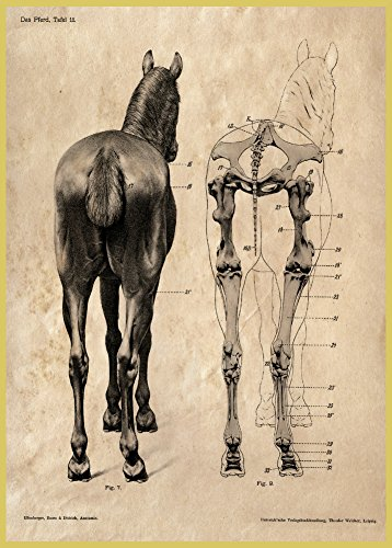 51yYWq%2BwSmL BEST BUY UK #1Vintage Anatomy THE HORSE, FROM THE REAR. UNNAMED FOR STUDY 250gsm ART CARD Gloss A3 Reproduction Cover Poster price Reviews uk