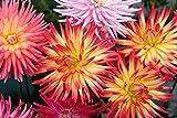 Kaktus-Dahlien 15 Samen, Dahlie Samen (Dahlia Cactus)