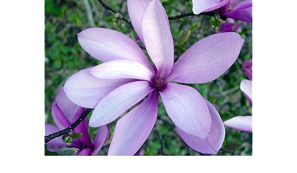 Pacific Essence Purple Magnolia 30ml Dosage Amazoncouk Health