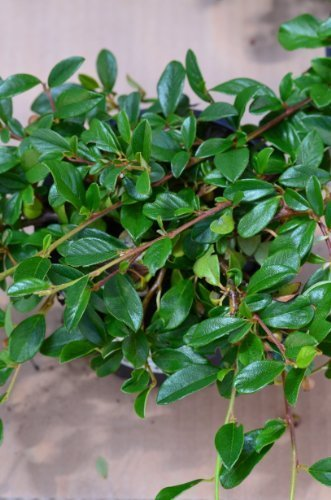 Teppichmispel Cotoneaster dammeri radicans 20 - 30 cm im 1,2 Liter Pflanzcontainer 1 VE = 50 Pflanzen
