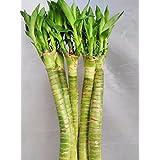 CAPPL Lotus Bamboo Live Plants 50 cm (3 Sticks)
