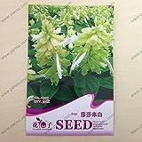 Original Paket Blumensamen, elfenbeinfarben weißer Salbei Samen, reife Blühende 90Tage, 30Partikel Samen/Tasche