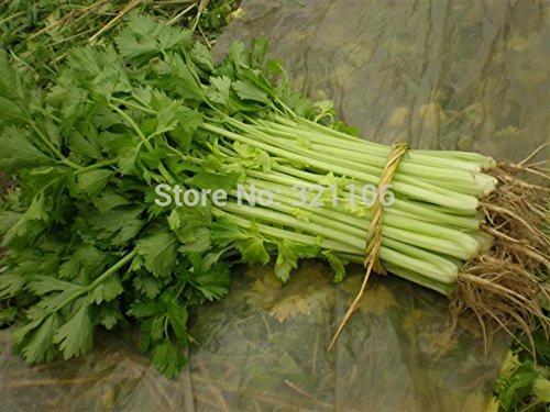 400 graines de céleri, bon pour BIO Les pression artérielle, les semences de légumes odorants pour la maison jardin plantation non Ogm