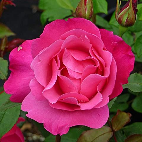 ROSE DOLLY-Superb Birthday Plant & Flower Gifts For