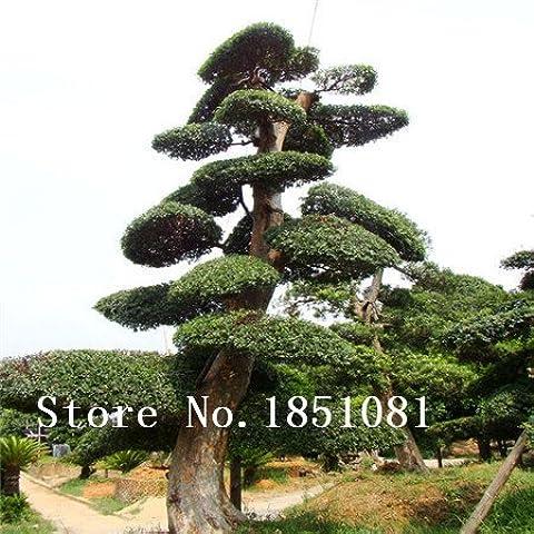 grande vendita 100 parti / lotto cinese Bonsai Elm Semi, semi di Woody perenne da giardino Semi ulmo albero