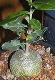 Fockea edulis - Caudex - 5 Samen