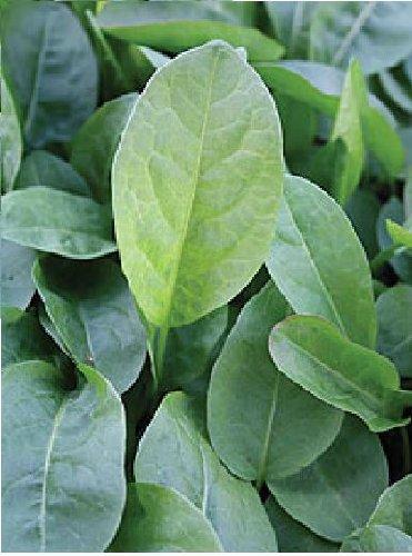 Just Seed???herbes???Sorrel Belleville???oseille Acetosa???10?G Seeds???Bulk Lot
