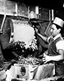 Side profile of male worker adding crushed ice to radish packages Poster Drucken (45,72 x 60,96 cm)