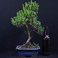 Bonsai Ciliegio Eugenia Myrtifolia Bonsai Da Interno 11 Anni Altezza