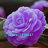 Seltene purpurrote Kamelien-Samen Eingemachte Garten-Blumen-Samen Eingemachte Zierpflanzen Japanische Kamelien-Samen 100pcs