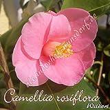 Kamelie 'Camellia rosiflora' - Camellia Wildart, Grupo de precio:2