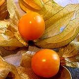 Ananaskirsche - Physalis pruinosa - 60 Samen