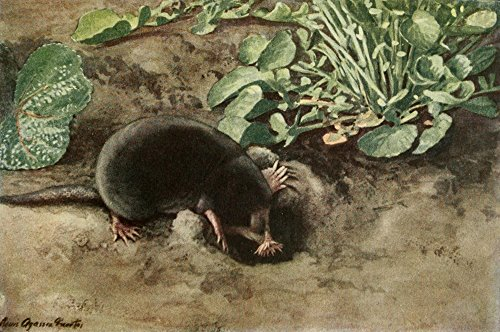 L.A. Fuertes – Wild Animals of N. America 1918 Star-nosed Mole Kunstdruck (60,96 x 91,44 cm) Star Nosed Mole