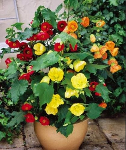 50 + Abutilon Bellvue Mix Samen Blüte/Stüberl Maple Innen Außen Perennial