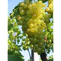 Vitis vinifera Millennium Weinrebe   kernlose weiße Weintraube   veredelt mit Neuaustrieb