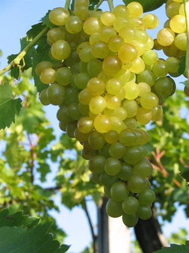 Vitis vinifera Millennium Weinrebe | kernlose weiße Weintraube | veredelt mit Neuaustrieb