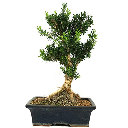 Bonsai, Buchsbaum, Buxus harlandii, 14 Jahre, 33 cm Höhe