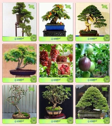 Pinkdose bonsai semi: semi per esterno combo rosewood, peach, pinus petula, gulmohargrape, frutto della passione - violet, eucalyptus grandis, guava, pinus roxburghaii giardino seme semi