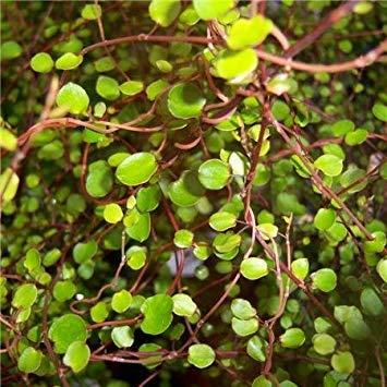 SANHOC Samen-Paket: Kreuz Nursery Muehlenbeckia complexaSEED