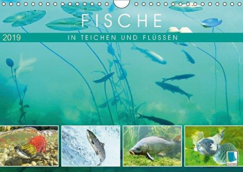 Fische in Teichen und Flüssen (Wandkalender 2019 DIN A4 quer): Großartige Unterwasseraufnahmen von Fischen in unseren Gewässern (Monatskalender, 14 Seiten ) (CALVENDO Tiere)