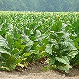 Nicotiana tabacum (Pianta del Tabacco) [Vaso Ø14cm]