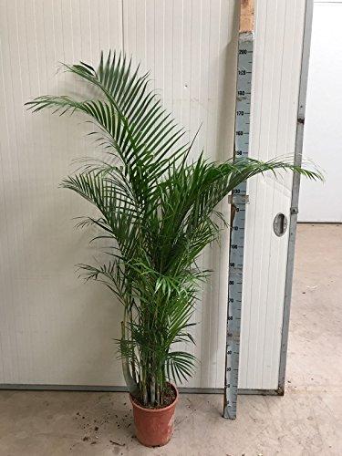 Blume-Senf Goldfruchtpalme 180-200 cm / Chrysalidocarpus lutescens / Areca Palme /  Dypsis lutescens