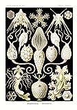 Tafel 95 - Urnensterne - aus: Ernst Haeckel - Kunstformen der Natur, 1900 - Nachdruck einer Illustrations-Tafel