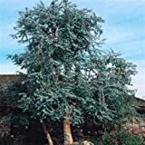 100 semillas frescas - Semillas de eucalipto dólar de plata de la flor del árbol