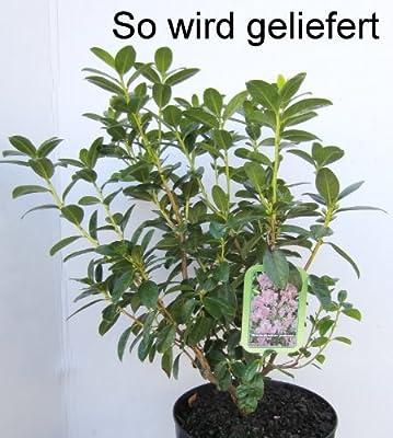 Vorfrühlingsalpenrose violett-blau blühend, 1 Strauch im 3 Liter Topf von Amazon.de Pflanzenservice bei Du und dein Garten