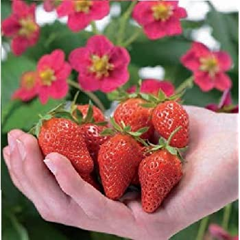 Strawberry Tristan 5 Seeds Just Seed Fruit