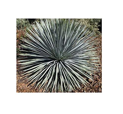 5x Hesperoyucca whipplei Samen Blätter starr und spitz dekorativ B2113