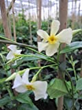 Trachelospermum jasminoides Star of Toscana - Duftender Sternjasmin Star of Toscana