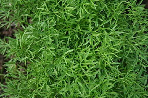 Portal Cool Herb - Koriander - Confetti - 600 Samen