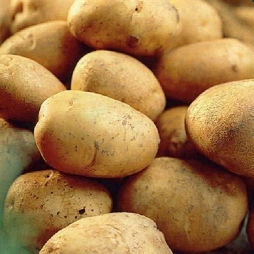 Samen Paket: 20: Rekord Saatkartoffeln - Certified Scottish Seed (Klasse S) Maincrop (Rekord-pakete)